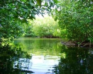 Tamarindo Estuary mangroves