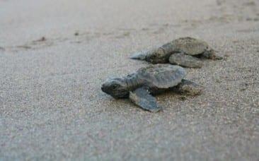 Festival celebrates Costa Rica sea turtles