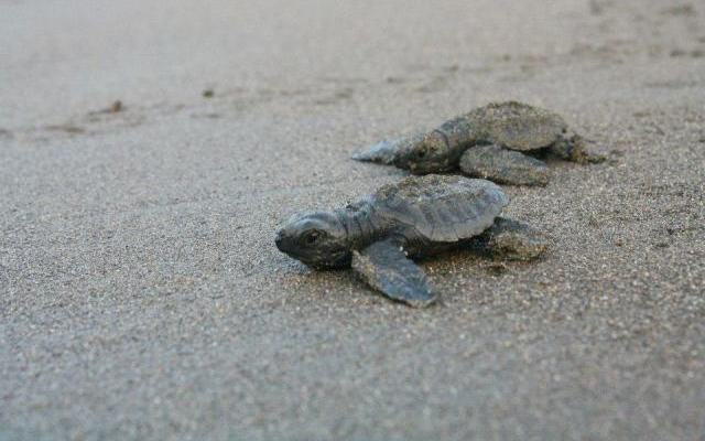 Festival celebrates Costa Rica sea turtles