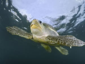 Turtle - olive ridley swmming