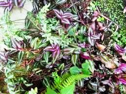 Exotic plants at else kientzler botanic garden costa rica - Wandering jew plant name ...