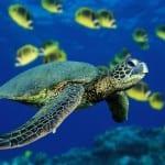 Green sea turtle swimming off Tortuguero coast