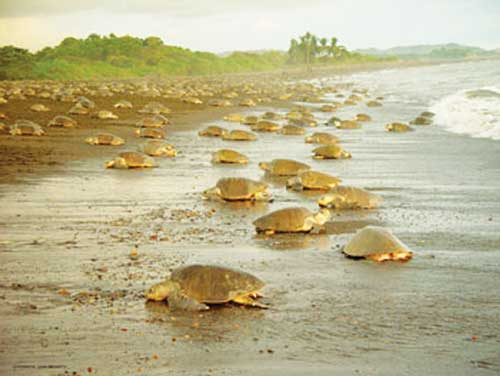 Green sea turtles nesting at Tortuguero