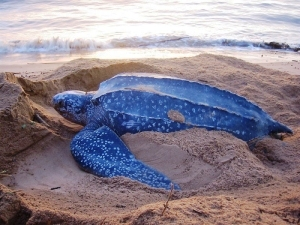 Leatherback sea turtle, image by Sea Turtle Conservancy