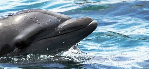 Bottlenose Dolphin, Golfo Dulce, photo by Earthwatch