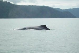 Humpback Whale mother & baby in Golfo Dulce