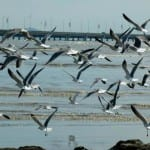 Panama Bay Wetland Wildlife Refuge for birds
