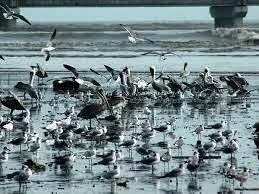 Panama Bay is refuge for shore birds