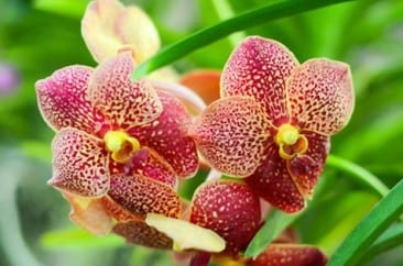 Orchid Festival 2015 opens at Else Kientzler Botanical Gardens in Costa Rica