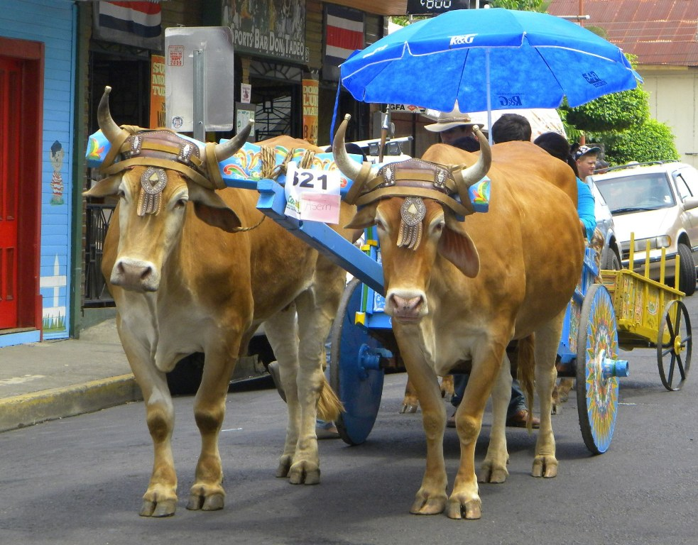Atenas Oxcart Parade 2013, image by Shannon Farley