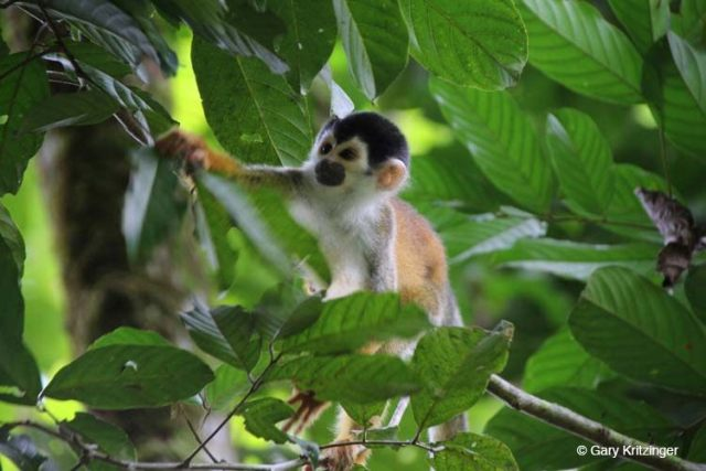 Bushmaster Adventures - Squirrel monkey in Costa Rica