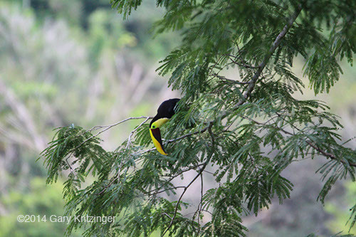 Bushmaster Adventures - Toucan in Costa Rica