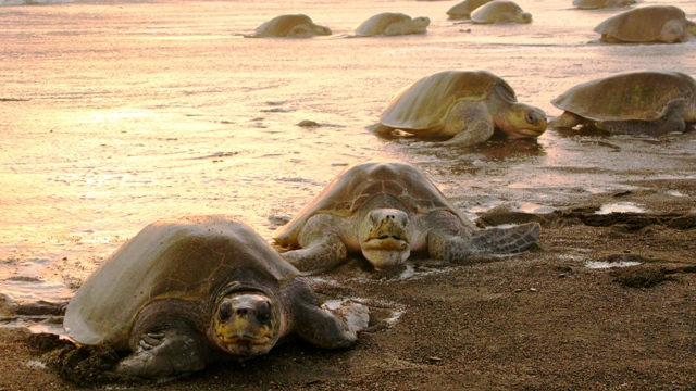 Olive Ridley turtles arrive in Ostional Costa Rica