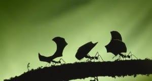 Rainy season leaf cutter ants