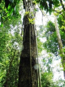 Trees - Espavel in Costa Rica
