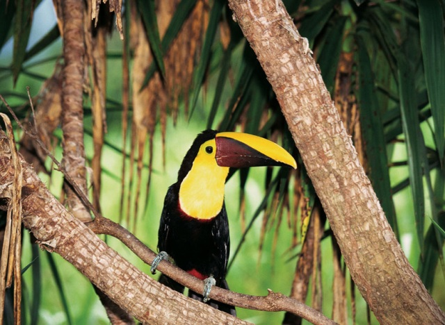 Live toucan in the wild at Playa Nicuesa Lodge in Costa Rica
