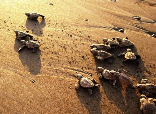 Olive Ridley sea turtle babies in Ostional Costa Rica