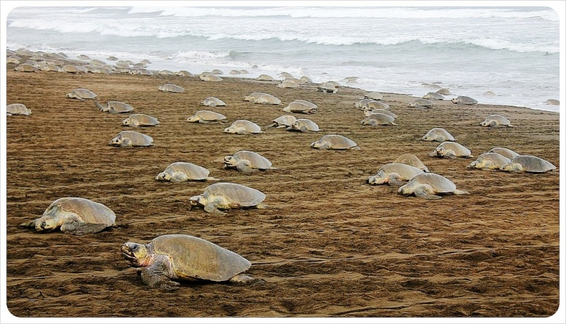 Olive Ridley turtles come to nest in Ostional Costa Rica