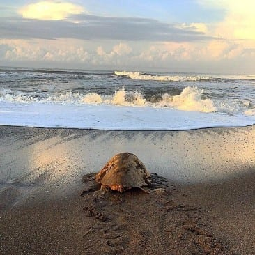 Time for sea turtles at Ostional National Wildlife Refuge in Costa Rica