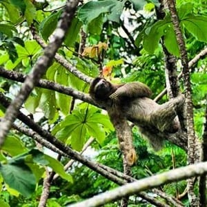 Sloth in tree at Portasol Living in Costa Rica