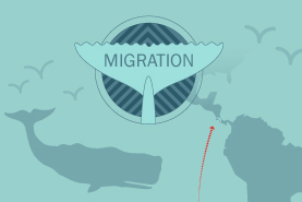 Infographic Whale migration facts