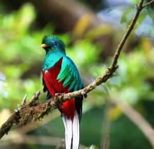 Costa Rica wildlife, Quetzal