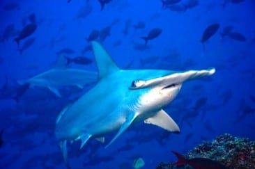 Saving hammerhead sharks in Golfo Dulce in Costa Rica