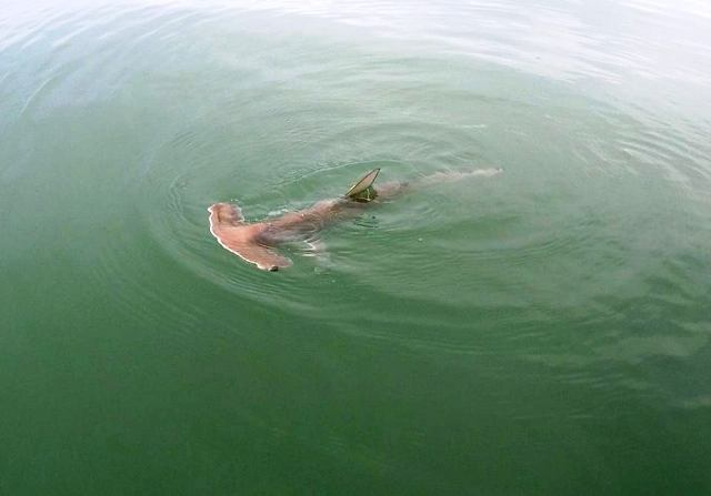 Juvenile Hammerhead shark in Golfo Dulce, image by Mision Tiburon Costa Rica
