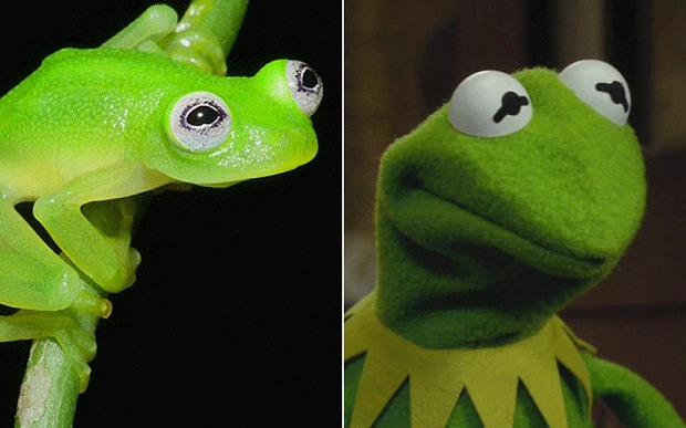 Kermit the frog in real life in Costa Rica, photo AP Brian Kubicki