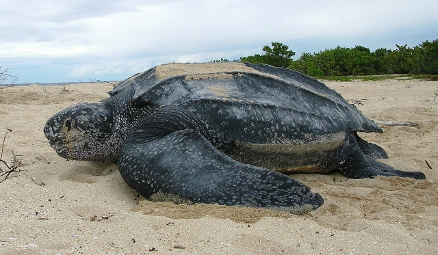 Playa del Coco tours leatherback sea turtle in Costa Rica