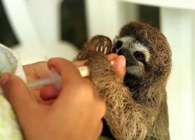 Cute baby sloths in Costa Rica feature in PBS and BBC program