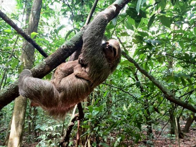 Sloth mother and baby at Portasol Rainforest in Costa Rica