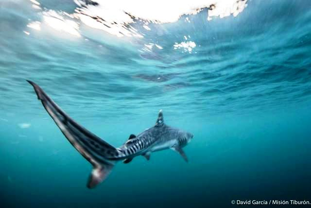 Tiger shark in Golfo Dulce, photo by David Garcia