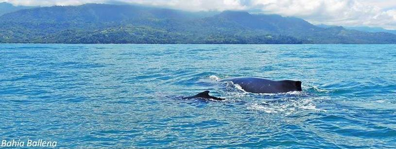 Humpback Whale and baby in Costa Rica