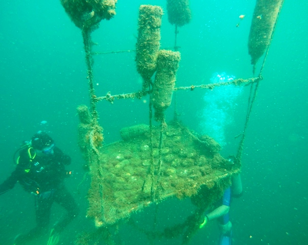 Coral reef restoration Golfo Dulce Costa Rica