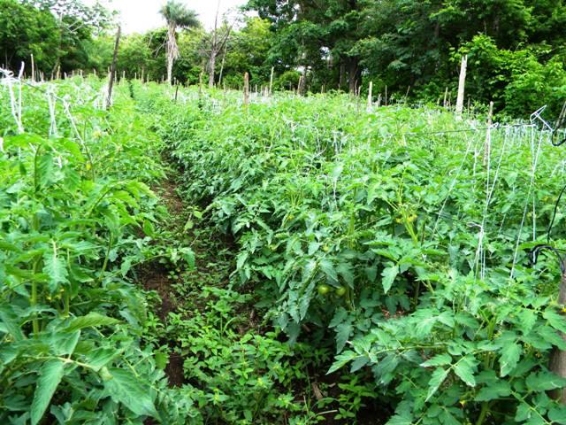 Hacienda Guachipelin restaurant tomato garden