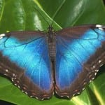 Morpho butterfly at Veragua Rainforest