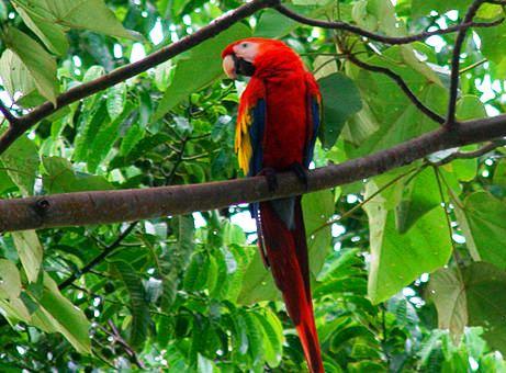Birds at Nicuesa Lodge - Scarlet Macaw