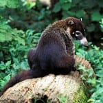 Costa Rica wildlife, coati