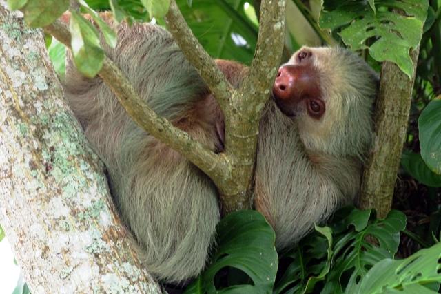 Costa Rica wildlife, sloth