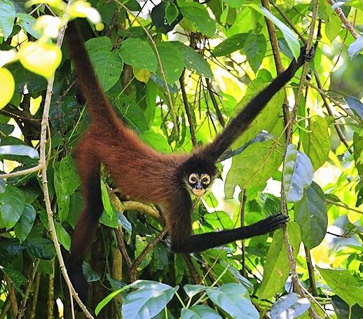 Spider monkey at Playa Nicuesa Rainforest Lodge in Costa Rica