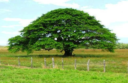 Guanacaste tree in Costa Rica
