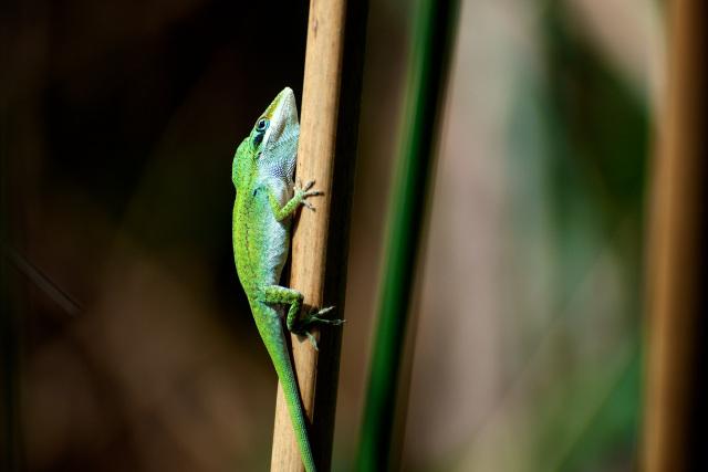 Anole at Veragua Rainforest