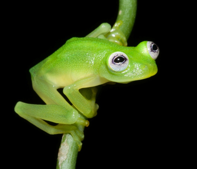 Glass Frog Kermit lookalike, image by Brian Kubicki