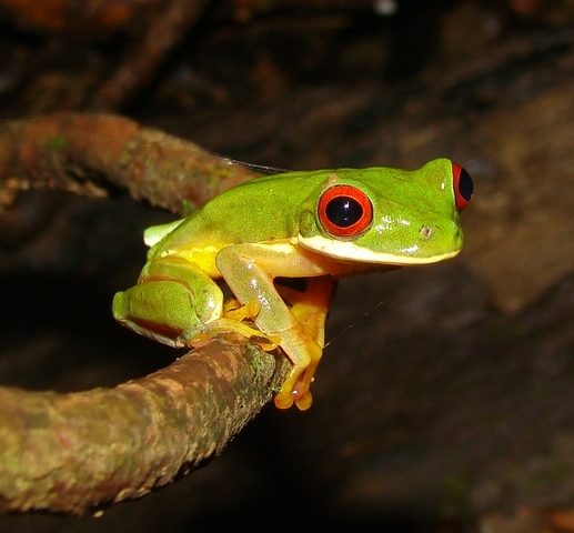 Red-eyed tree frog at Veragua Rainforest