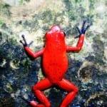 Strawberry poison dart frog, Veragua