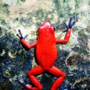 Be dazzled by rainforest frogs in Costa Rica
