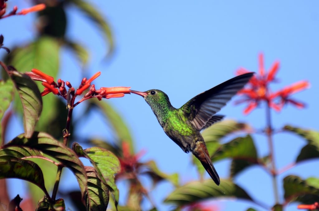 Hummingbird_at_La_Selva_Costa_Rica