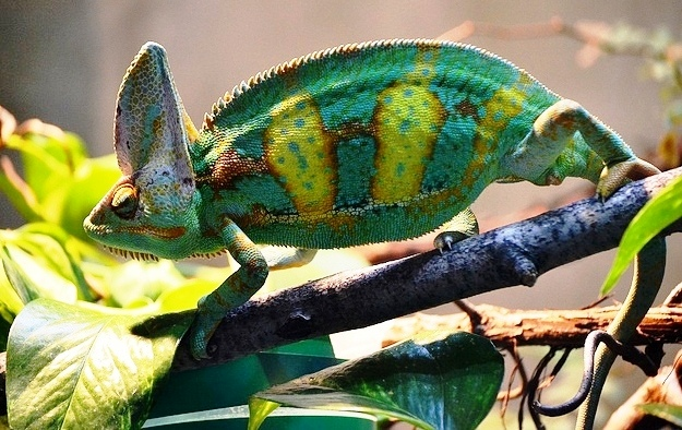Chameleon, from Creative Commons