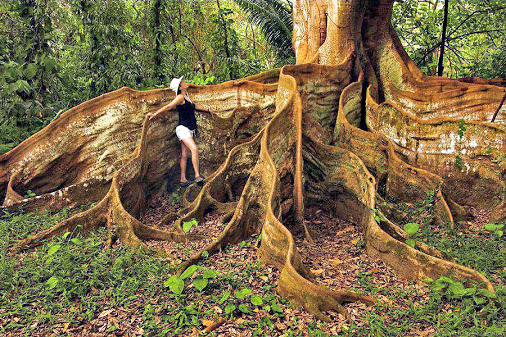 Tree buttress roots in rainforest